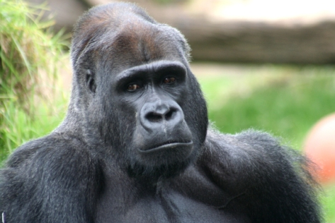 This horny gorilla thinks about sex all day long.